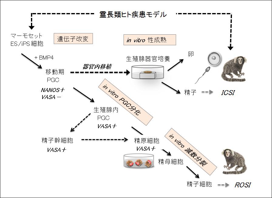 生殖グループ図